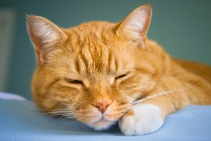 Sedated Cat for Ultrasound